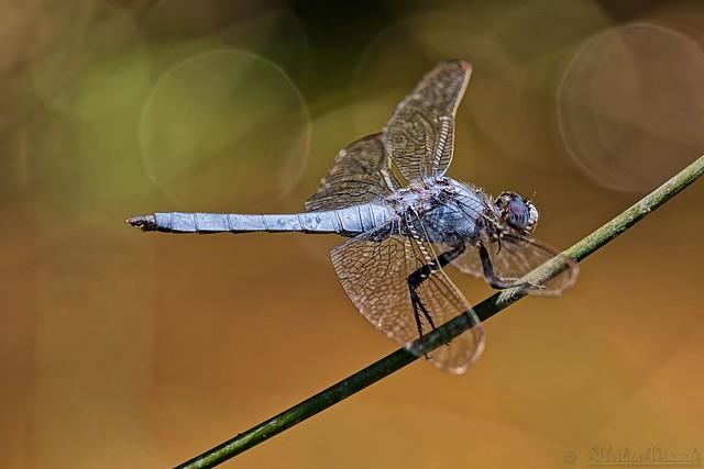 Orthetrum coerulescens ♂ - Orthetrum bleuissant ♂