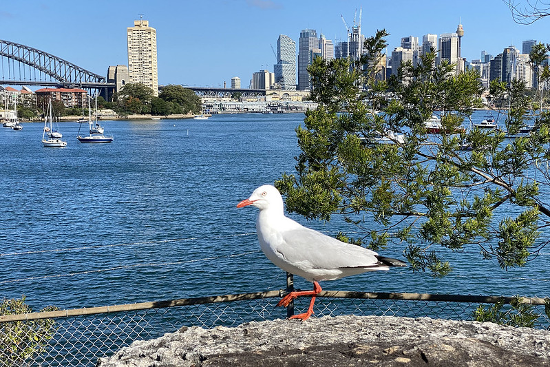 Silver gull and harbour