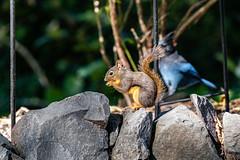 Douglas Squirrel 2021 09 20 22