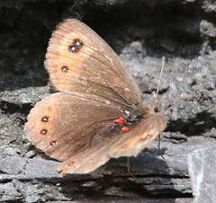 Marmorierter Mohrenfalter, (Erebia montana)