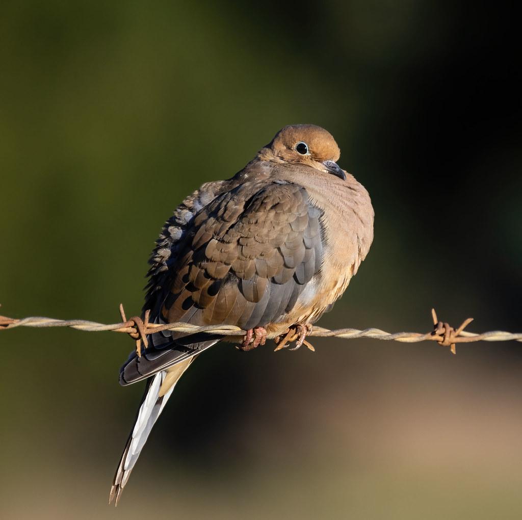 Mourning Dove feelin' ok!