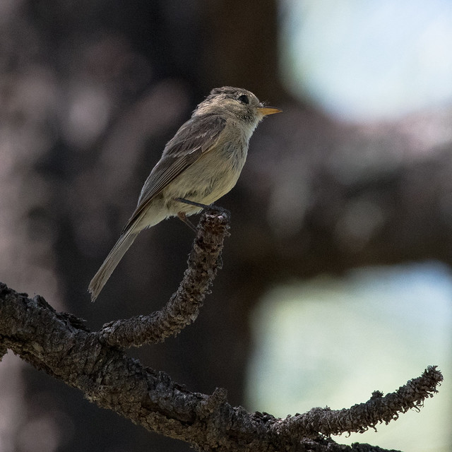 Buff-breasted Flycatcher (Empidonax fulvifrons)-1148