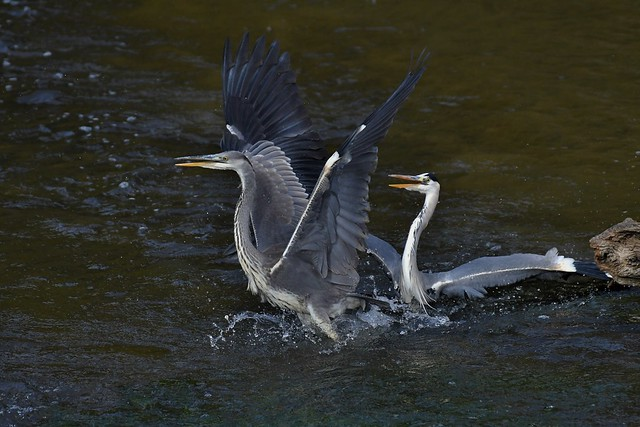 Hérons cendrés - Ardea cinerea - Grey herons