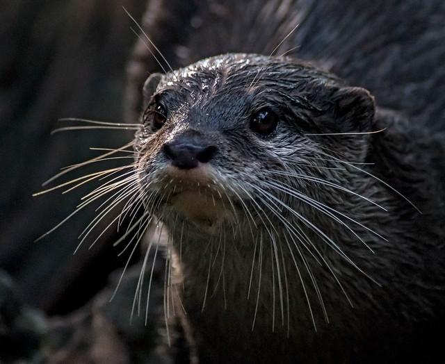 Otter at Australia Zoo.