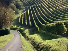 Vineyard in Fagnano (BO), Valsamoggia, Italy