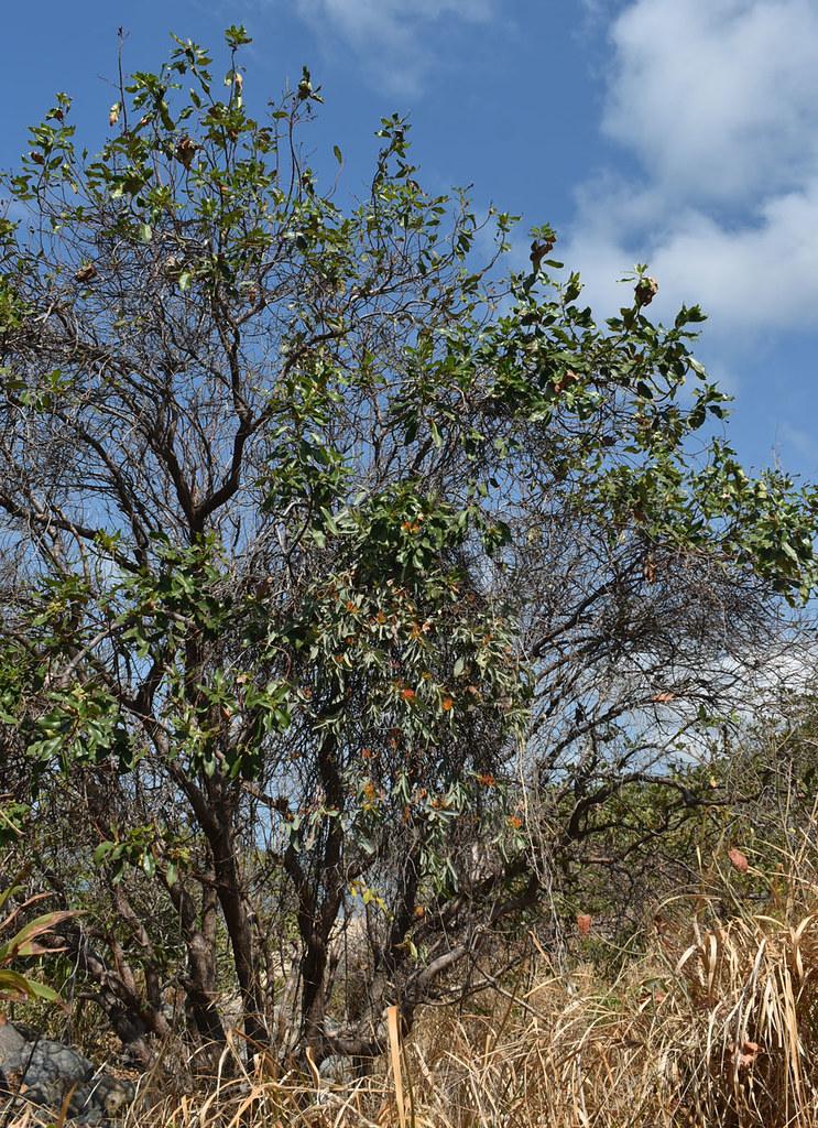 Dendrophthoe glabrescens on Lophostemon grandiflorus, Ellis Beach - Wangetti Beach, north of Cairns, QLD, 13/10/21