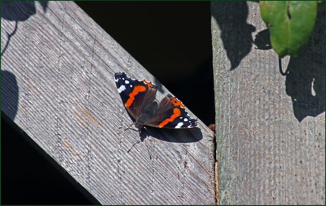 Butterfly in the garden!