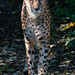 "<p><a href=""https://www.flickr.com/people/bird_pics/"">Thomas-Harris</a> posted a photo:</p>  <p><a href=""https://www.flickr.com/photos/bird_pics/51618982176/"" title=""Cheetah""><img src=""https://live.staticflickr.com/65535/51618982176_9347810316_m.jpg"" width=""160"" height=""240"" alt=""Cheetah"" /></a></p>"