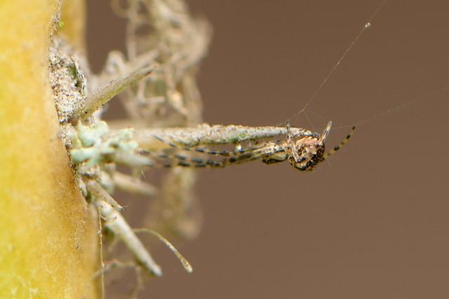 Long-jawed Orb Weaver spider on cactus spine