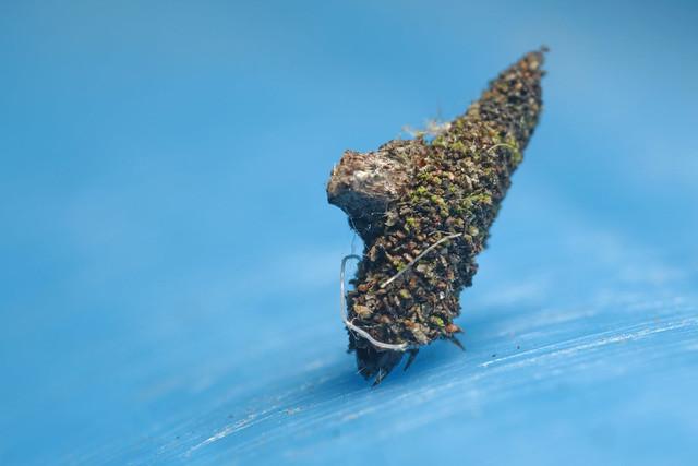 2L2A6444 Bagworm moth larva