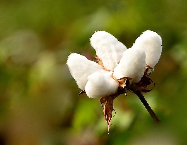 Cotton October 2021