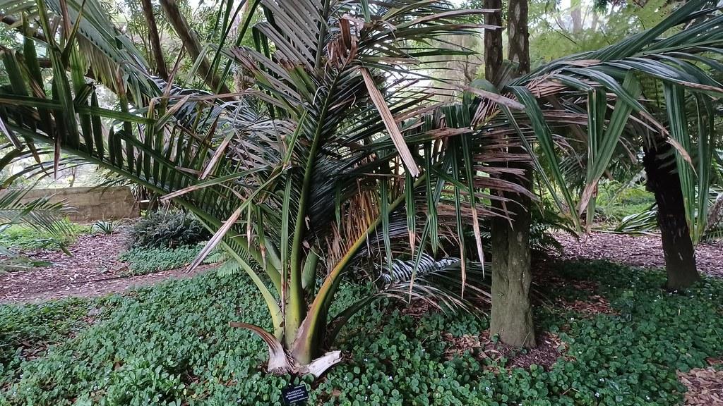 Oraniopsis appendiculata bronze palm origin: Queensland state, Australia  San Francisco Botanical Garden   20211020_165008