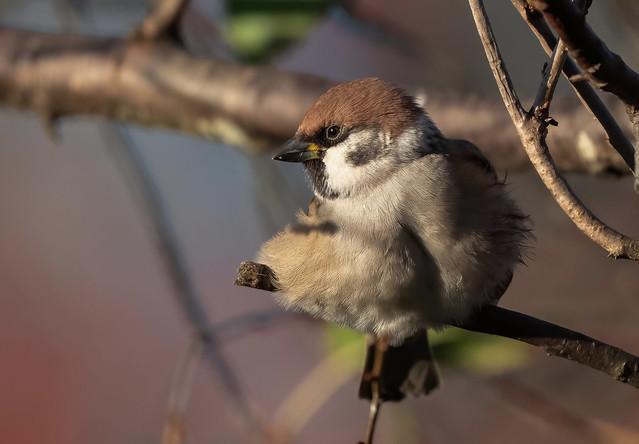 Pilfink.  Eurasian Tree Sparrow