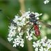 Cylindromyia bicolor (2)