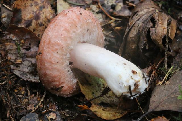 Woolly Milkcap (Lactarius torminosus) #2