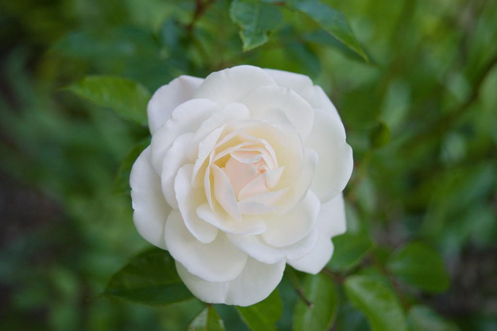 pretty iceberg rose