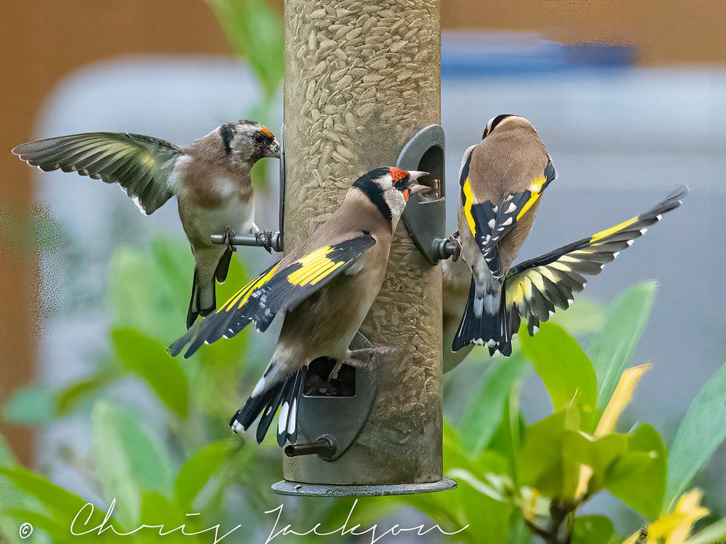 Goldfinch feeding.