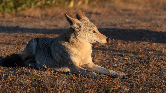 Coyote Watching the Sunset - 1