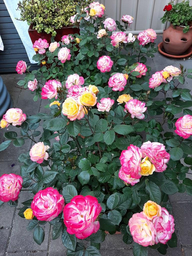 'Chameleon' roses