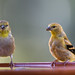 Goldfinches Never Stop Talking-58332