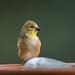 Goldfinch-58330