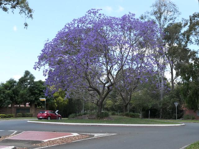 Jacaranda flowers, Saturday 23 Oct 2021