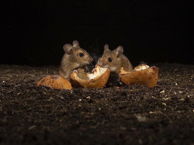 Wood mice feeding on Horse chestnut.