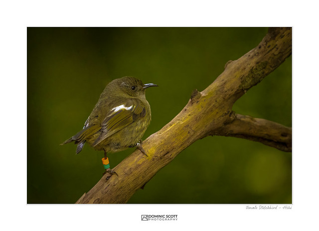 Female Stitchbird - Hihi