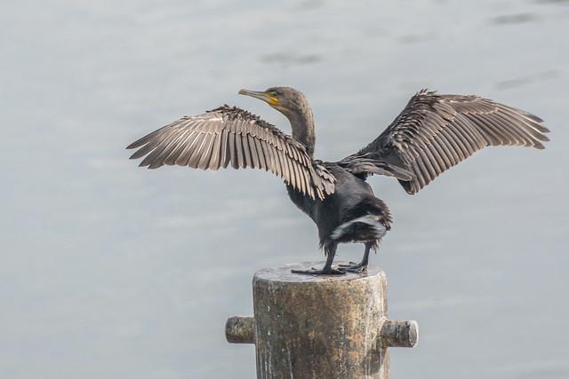 cormorant-3-1