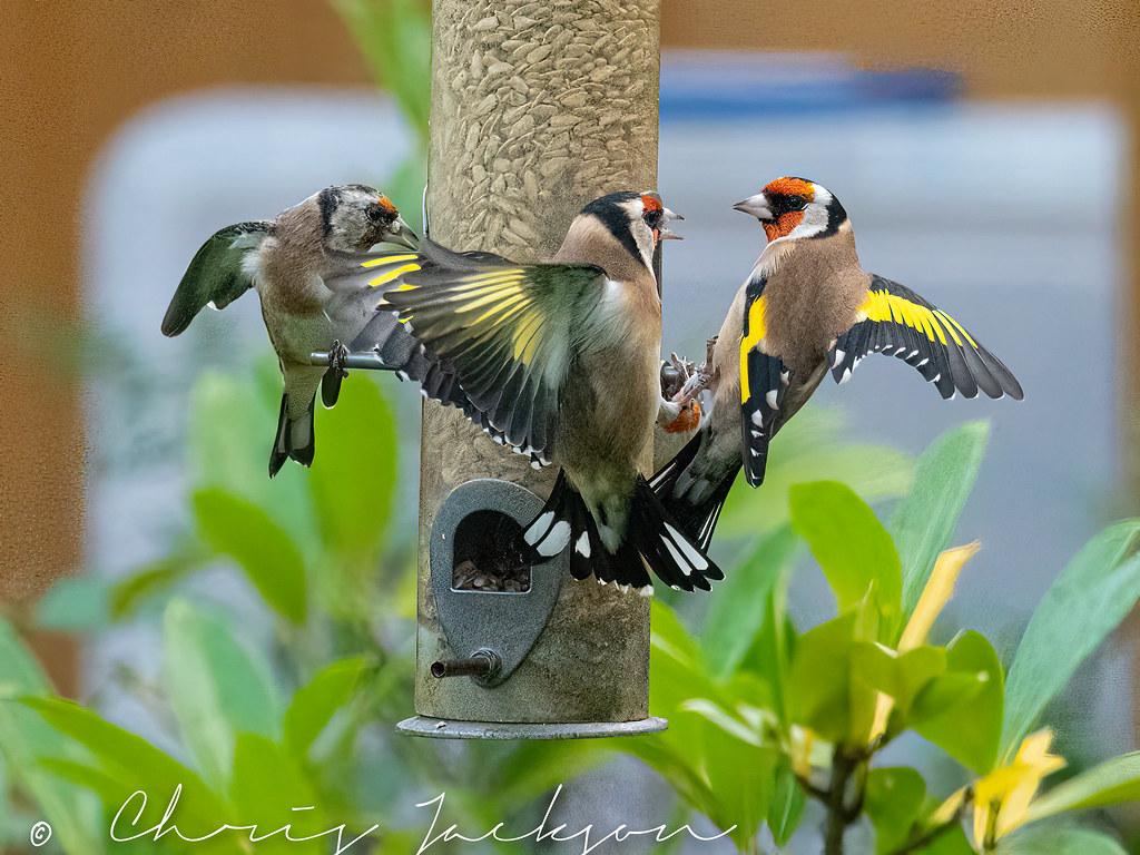 Goldfinch  disagreement over the best perch!
