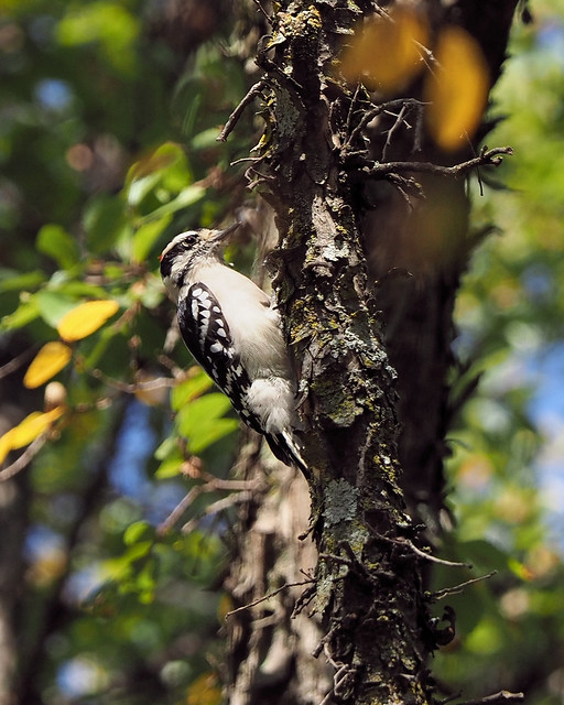 Downey Woodpecker October