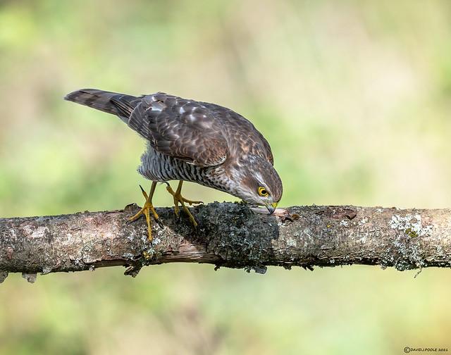 Female Sparrowhawk.