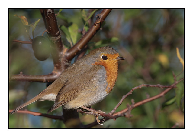 Robin posing - (Erithacus rubecula) Double click for large