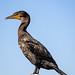 Cormorant, Sea Raven