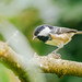 Tannenmeise (Periparus ater) (1)