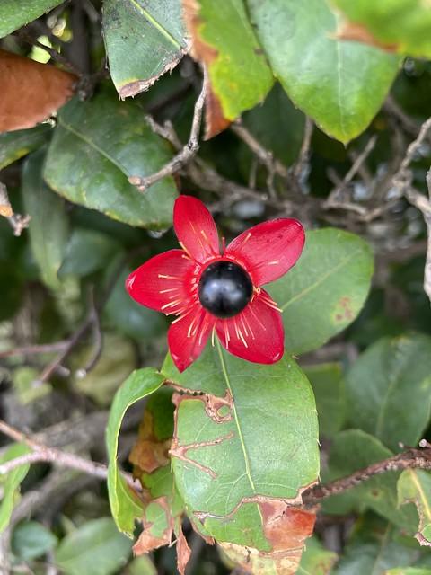 'Ochna, Ochnaceae ou Mickey Mouse plant', Honolulu, O'ahu, Hawaii (USA)