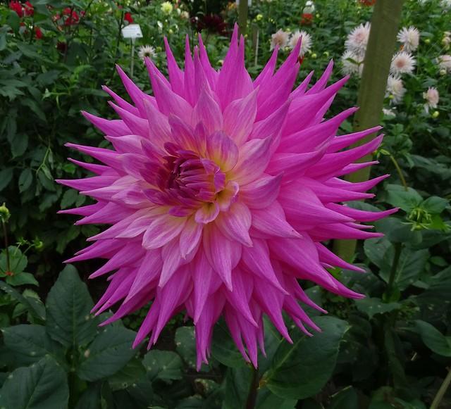 Dahlia Pink Jupiter