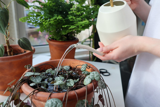 Watering Succulents: String of Hearts (Ceropegia woodii)