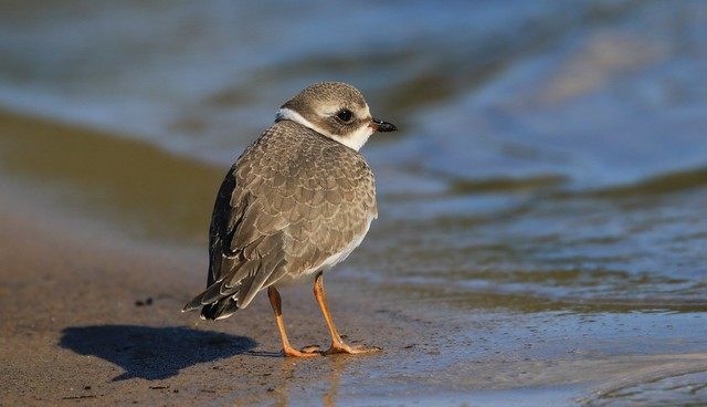 Semipalmated Plover / Pluvier semipalmé ( Richard )