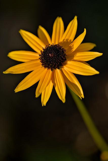 Rudbeckia in Autumn Sun