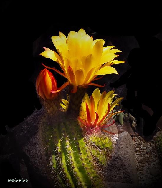 Echinopsis bruchii - Gold Rush Cactus 0508