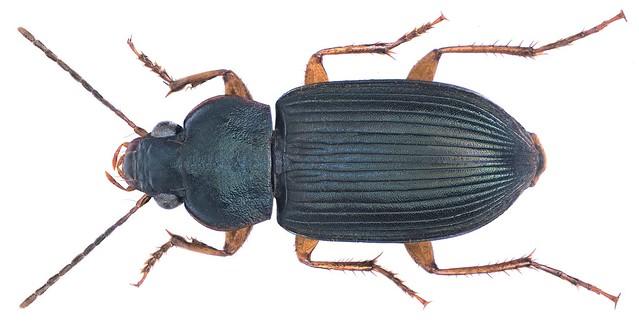 Parophonus spec.
