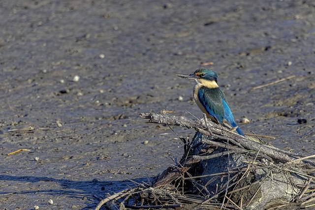 New Zealand native Kingfisher   IMG_1402