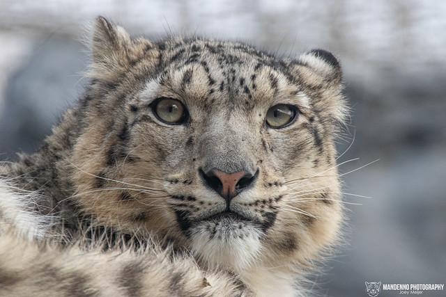 Snow Leopard - Pairi Daiza -  Belgium