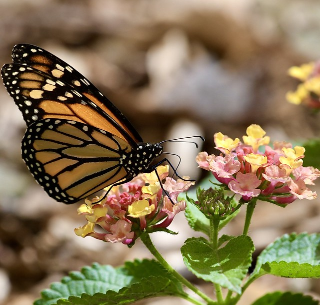 Monarch (Danaus plexippus) on  Lantana camara, 20 Jun 21