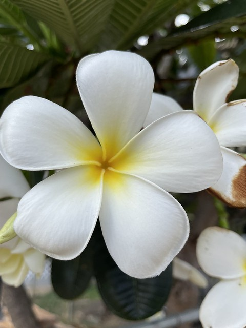 'Plumeria, Apocynaceae ou Frangipanier', Honolulu, O'ahu, Hawaii (USA)