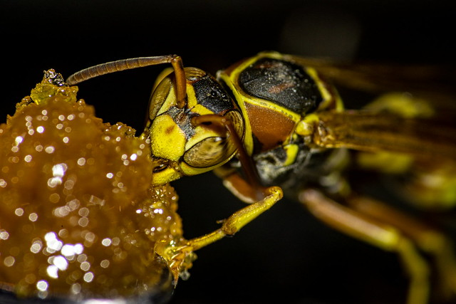 the wasp and honey