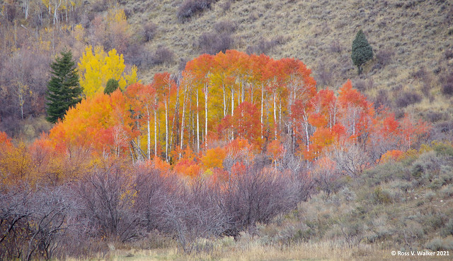 Red Canyon Aspens