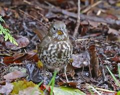 Fox Sparrow breast