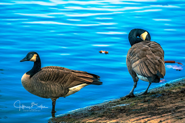 Geese - Lake Vasona late afternoon-743580.jpg